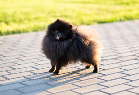 Black Pomeranian spitz on sunset. Happy dog standing and looking at camera