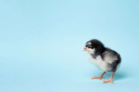 Little chicken stands on blue background. Newborn bird. Copyspace Foto de archivo