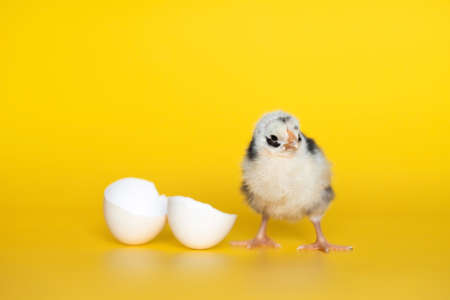 Little chicken with eggshell stands on yellow background. Newborn bird