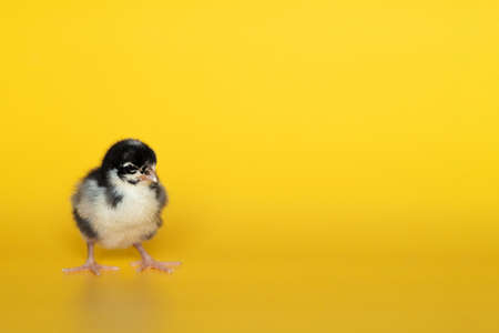 Little chicken stands on yellow background. Newborn bird. Copyspace