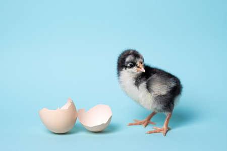 Little chicken with eggshell stands on blue background. Newborn bird