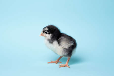 Little chicken stands on blue background. Newborn bird