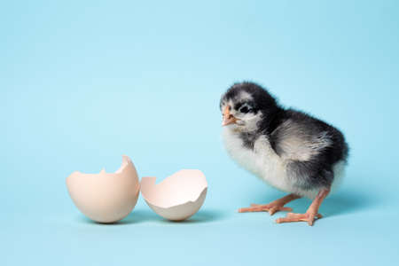 Little chicken with eggshell stands on blue background. Newborn bird