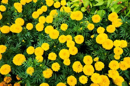 tagetes: marigold,Marigolds (Tagetes erecta, Mexican marigold, Aztec marigold, African marigold) Stock Photo
