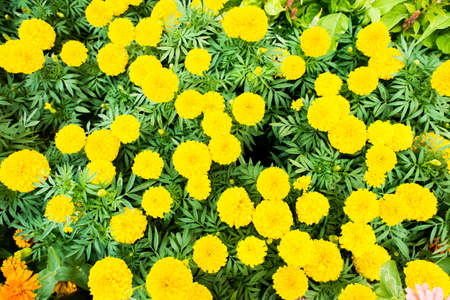 african marigold: marigold,Marigolds (Tagetes erecta, Mexican marigold, Aztec marigold, African marigold) Stock Photo