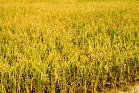 champ de mais: champ de ma�s, l'agriculture champ de ma�s Banque d'images
