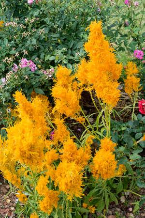 cockscomb: Cockscomb flower in garden