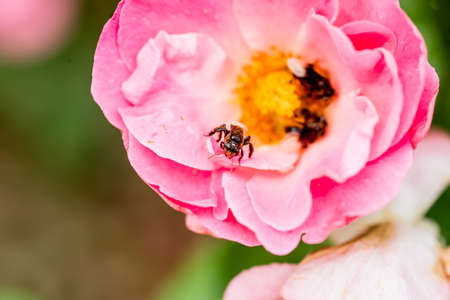 pink rose and feasting bee,flying bee,Bumble Bee,bumble bee flying on flower