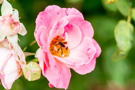bee on flower: pink rose and feasting bee,flying bee,Bumble Bee,bumble bee flying on flower