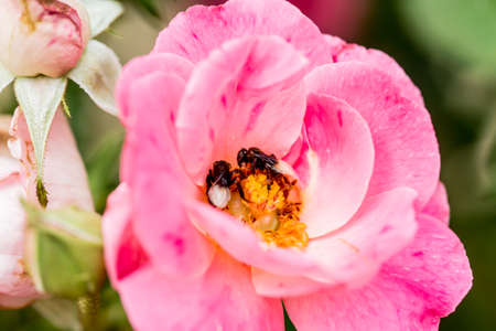 feasting: pink rose and feasting bee,flying bee,Bumble Bee,bumble bee flying on flower