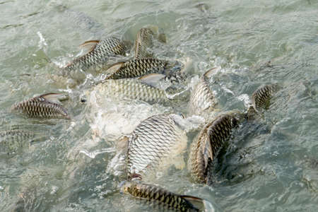 oreochromis: Tilapia Fish in farm,Lot of Nile Tilapia fish, in Thai temple.