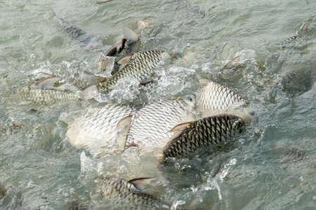 oreochromis niloticus: Tilapia Fish in farm,Lot of Nile Tilapia fish, in Thai temple.