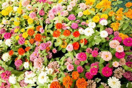 pot marigold: Pink pot marigold,A Garden of Multi-Colored Marigolds in Full Bloom Stock Photo