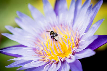 swarm: Bee on lotus flower,bee swarm water lily, lotus in nature,bee on lavender lily