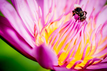 bee on flower: Bee on lotus flower,bee swarm water lily, lotus in nature,bee on lavender lily