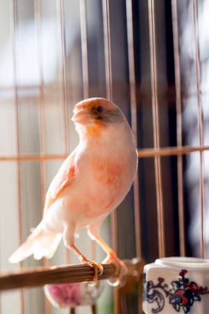 canary: White and orange canary (Serinus canaria).,canary
