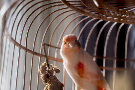 serine: White and orange canary (Serinus canaria).,canary