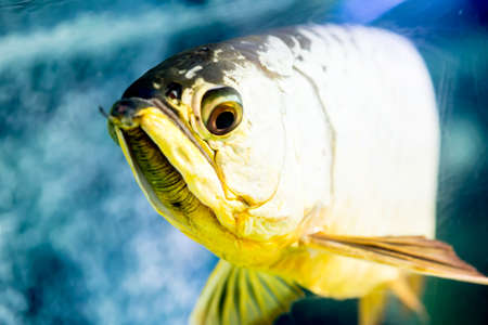arowana: Golden Arowana Stock Photo