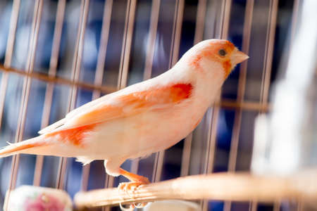 serine: White and orange canary (Serinus canaria).,canary