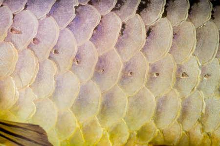 arowana: Arowana scales textured Stock Photo