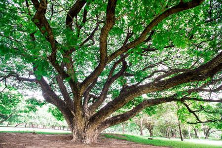 to shade: big Tree,Shade