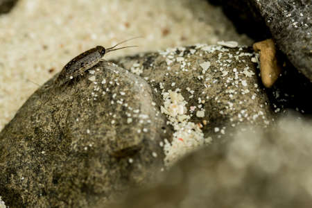 macrophotography: sea Roach,Sea slater (sea louse) on rough stone background