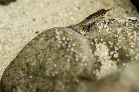 chitin: sea Roach,Sea slater (sea louse) on rough stone background