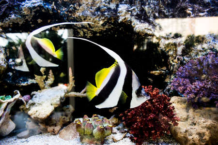pterophyllum: couple angel fish in aquarium, thailand