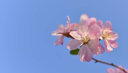 crab apple tree: Pink flowers in blue sky. Closeup of Pink crab apple flowers with blue sky background. Stock Photo