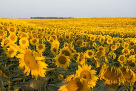 field and sky: Una gran cantidad de girasoles en el campo. El cielo y horizonte. El horario de verano. Sunrise. Ma�ana. Centrarse en la parte midlle de tiro.