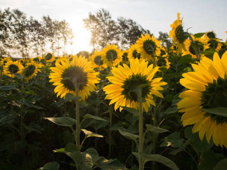Sunflowers in the field. Back sides against the sun. Some trees. Summer time. Sky, morning llight. photo