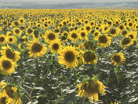 plurality: Field of sunflowers. Back light, focus in the center of shot. Sunset time, sunny day, plurality of heads of flowers.