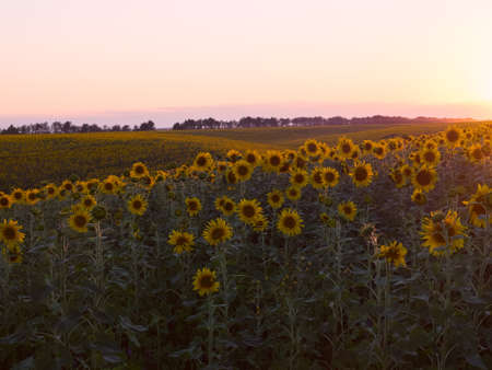 plurality: Plurality of sunflowers in the field in the rays of the setting sun. Sunset time, solar backlight. Field of sunflowers in natural landscape.