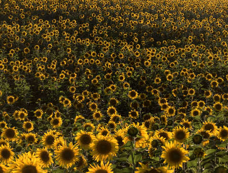 multiplicity: Plurality of sunflowers in the field. Natural background. Sunset time, solar backlight. Field of sunflowers in natural landscape. Hilly terrain. Stock Photo