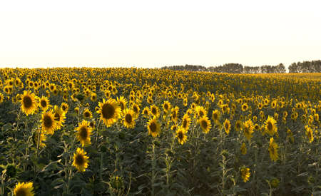 plurality: Heads of sunflowers in a field in the rays of the setting sun. Sunset time, solar backlight. Field of sunflowers in natural landscape. Agriculture, plurality of sunflowers. Stock Photo