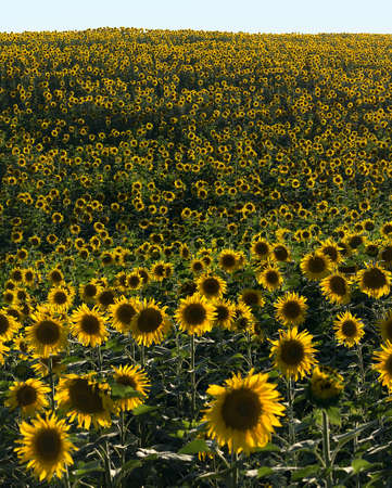 multiplicity: The wall of sunflowers. Front view. Natural landscape. Hilly terrain. Sunset time. Solar backlight. Stock Photo
