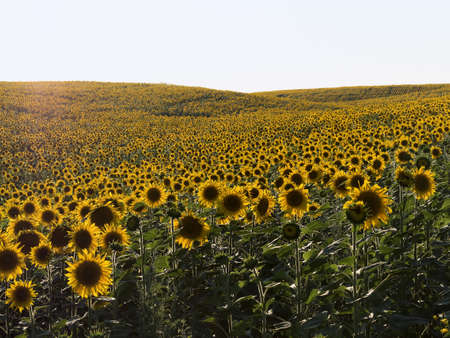 plurality: Field of sunflowers in natural landscape. Hilly terrain. Sunset time, solar backlight. Agriculture, view from field side, plurality of sunflowers. Stock Photo