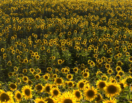 plurality: Plurality of sunflowers in the field. Natural background. Sunset time, solar backlight. Field of sunflowers in natural landscape. Hilly terrain. Stock Photo