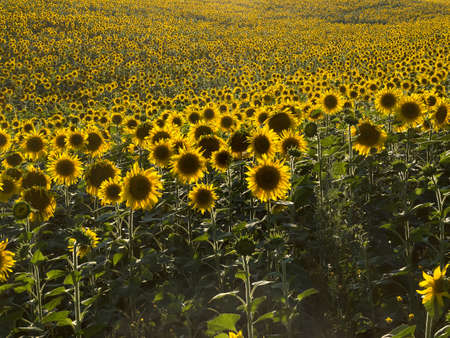 plurality: Field of sunflowers in natural landscape. Hilly terrain. Sunset time, solar backlight. Agriculture, plurality of sunflowers.