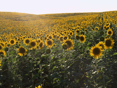 plurality: Rows of sunflowers. Sunset time. Field of sunflowers in natural landscape. Hilly terrain. Sunset time, solar backlight. Agriculture, plurality of sunflowers.