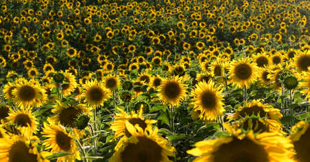 plurality: Plurality of sunflowers in the field. Sunset time, solar backlight. Field of sunflowers in natural landscape. Hilly terrain.