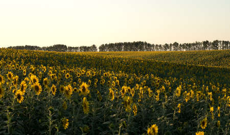 plurality: Heads of sunflowers in a field, landshaft wave, setting sun. Sunset time, solar backlight. Field of sunflowers in natural landscape. Agriculture, plurality of sunflowers. Stock Photo