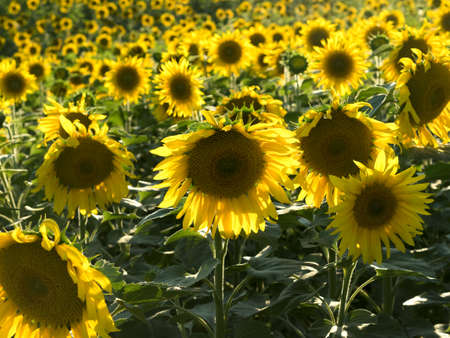 plurality: One sharp sunflower on the background of the set. Sunset time, solar backlight. Field of sunflowers in natural landscape. Hilly terrain. Agriculture, plurality of sunflowers.