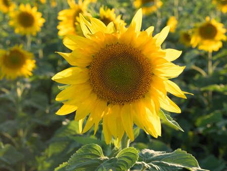 plurality: One sharp sunflower on the background of the set. Sunset time, solar backlight. Field of sunflowers in natural landscape. Agriculture, plurality of sunflowers.