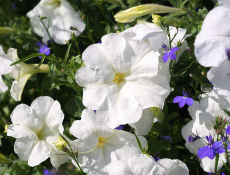 petunias: Some flowers petunias in focus on the flowerbed. White colored, with blue lobelia flowers. Sunny summer day. Stock Photo