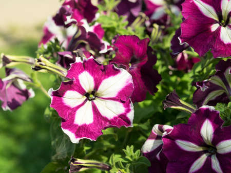 petunias: Some mix colored flowers petunias on the flowerbed. White and violet colored, grandiflora form flower. Sunny summer day.