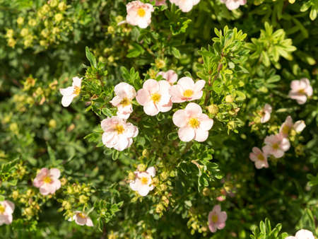 kuril: Pink Queen. Potentilla fruticosa. Kuril tea. Flowers. Inflorescence. Pink colored, warm, shades. Sunny summer day.