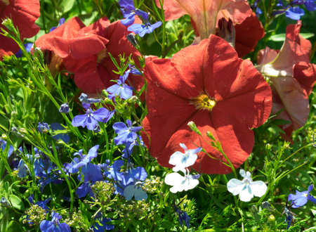 lobelia: Some flowers petunias in focus on the flowerbed. Red colored, with blue lobelia flowers. Sunny summer day.