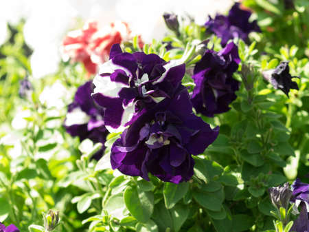 petunias: Couple of flowers petunias in focus on the flowerbed. Mix violet colored, terry form. Sunny summer day.
