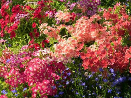 lobelia: Phlox drummonda in focus on the flowerbed. Mix colored, warm shades, different forms, with blue lobelia flowers. Sunny summer day.